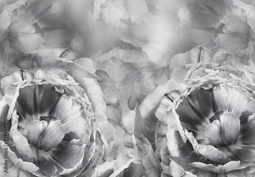Fototapety, obrazy: Floral  white-black  background. A bouquet of  pink-white tulips  flowers.  Close-up.   floral collage.  Flower composition. Nature.