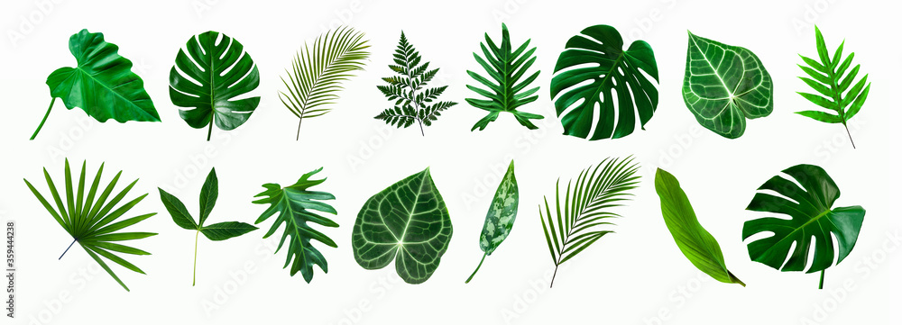 Fototapeta set of green monstera palm and tropical plant leaf isolated on white background for design elements, Flat lay