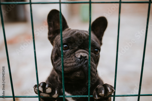 Leinwand Poster Close up of a beautiful dog breeds a French Bulldog in a cage