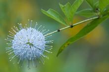 Common Buttonbush