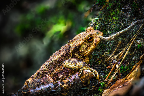 Twilight-active earth toad sneaks outside its hiding place in foraging in the tw Canvas Print