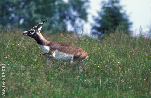 ANTILOPE CERVICAPRE antilope cervicapra Canvas Print