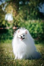 White Shpitz Dog Posing In Green Background. Pet At Summer. Dog Smile. Pomeranian Portrait