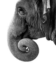 Head Of Elephant Isolated On W...