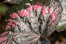 Close Up Of Leaf Pattern Of Decorative Plant. Heuchera Flower Leaf Close Up. Exotic Plant In The Botanical Garden. Beauty Of Nature.
