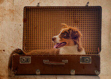 Cute Australian Shepherd Dog In An Old Suitcase - Vintage Picture