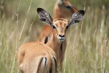 Impala Group Impalas Antelope ...