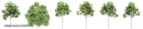 Fotografiet Set or collection of green rowan trees isolated on white background