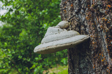 Close-up Of A Pair Of Polyporus Squamosus Mushrooms Growing On A Live Tree In The Forest, Illustrating The Symbiosis And Interaction Of Various Living Things.