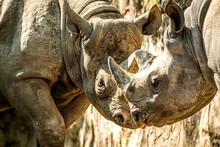 Two Rhinos Butting Heads Toget...