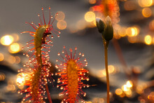 The Insectivorous Plant Is A Sundew Drosera. Predatory Plant.