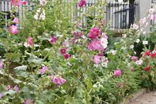 Roses-trémières Multicolores