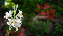 White Lily In The Garden. Lilium Longiflorum