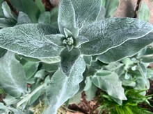 The Fuzzy White Hair Thick Leaf Plant Lamb's Ear Or Woolley Hedge Nettle With Soft Foliage To The Touch As Seen From Above Pre Bloom Of Flowers In The Early Summer Time