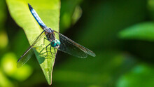 Blue Green Dragonfly On A Branch