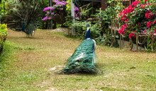 Peacock Fanned Out Feathers. Tails Of Peacocks