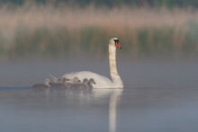 Mute Swan (Cygnus Olor) Swimming Accross The Lake With It's Little Duckling In The Morning. Foggy Morning With The Great White Bird And Small Chicks