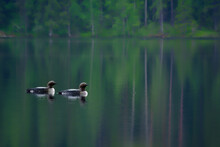 Two Arctic Loons On Beautiful Lake In Finland In The Morning. Also Called Black-throated Loon (Gavia Arctica), Black-throated Diver, Migratory Aquatic Bird Found In The Northern Hemisphere