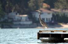 Great Blue Heron Perched On A ...