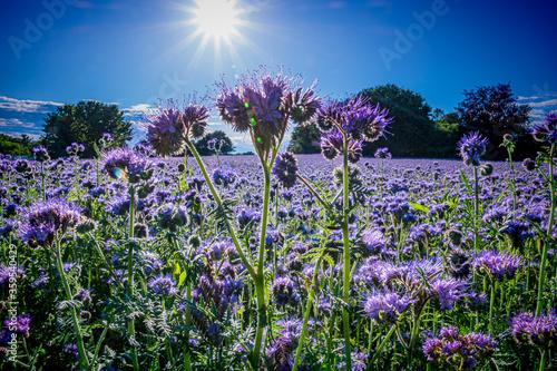 Fototapeta Campo di facelia 01 - questo fiore è fra i preferiti dalle api e viene seminato per lasciar riposare il terreno ed incrementare la produzione di miele obraz