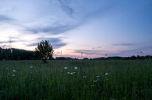Sunset In The Field With Daisies. Field Daisies In The Foreground.