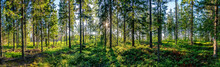 Beautiful Panorama View From Inside Of Swedish Forest Through Green Forest Trees Under Sun Rays. Scenic Background Picture Of Scandinavian Summer Nature.