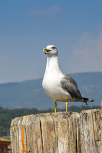 Large Seagull Perched On A Woo...