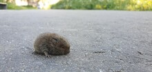 Field Mouse On A Sidewalk