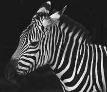 Close Up Of Young Zebra In Bla...