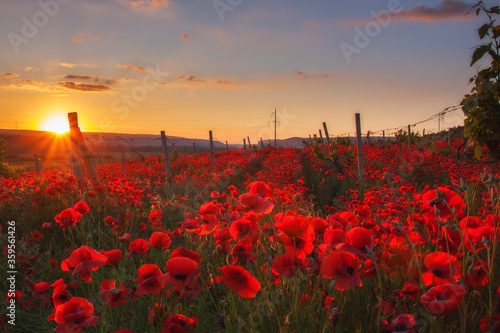 Fototapeta Vineyards and red poppies. Very beautiful sunset with red poppies in the vineyards. obraz na płótnie