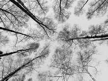 Black And White Photo Ooking Up To The Tops White Birch Trees And Blue Sky In Fall.