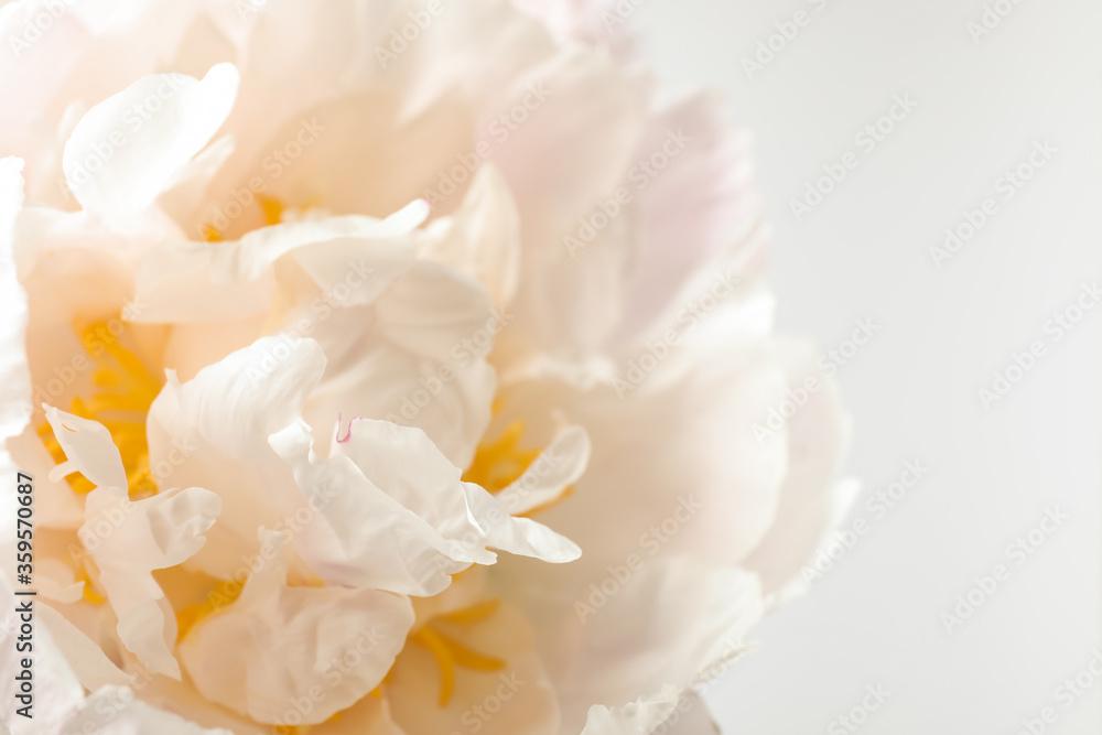 Fototapeta Beautiful blooming white peony on light background, closeup
