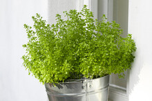 Bush Of Shallow Basil In A Met...