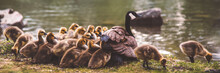 Canada Geese Family Goslings W...