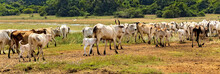 Riding Animals Zebu Domestic C...