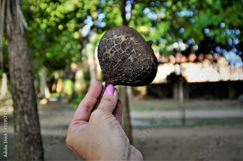 Photo O casco seco da Basiloxylon brasiliensis no parque