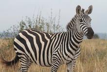 Zebras Roaming Free In The Wild