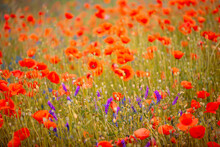 Gentle Red Poppies On The Plain On A Beautiful Summer Day