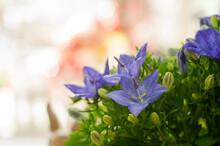 Campanula. Fresh Flowers. Smal...