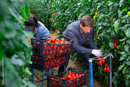 Man and woman gardeners harvesting tomatoes in greenhouse Canvas Print
