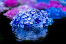池に浮かぶ紫陽花の花...