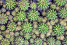 Echinopsis Calochlora Cactus Background