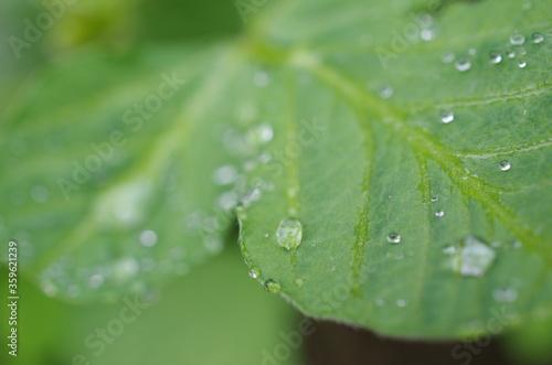 Fototapeta 雨上がりの葉と滴 obraz na płótnie