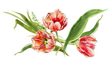 Composition Of Tulips With Leaves On A White Background, Watercolor Drawing