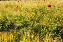 Getreidefeld In Schleswig-Holstein An Der Eckernförder Bucht Im Sommer Mit Vereinzelten Mohnblumen