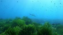Leerfish Or Garrick Fish Over ...