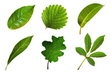 Collection Of Six Species Leaf...