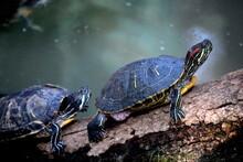 Cute Red Eared Slider Turtle O...