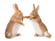 Two Bunnies Stand On Their Hin...