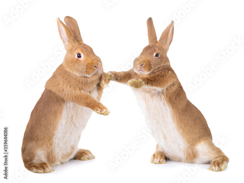 Two bunnies stand on their hind legs isolated on a white background Canvas Print